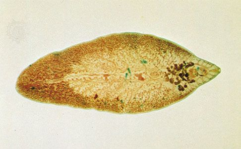 platyhelminthes fluke féreg