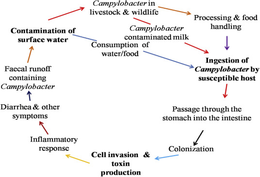 giardia and campylobacter in humans)