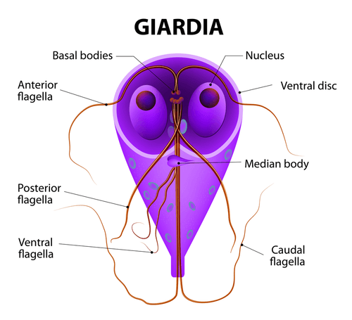 Giardia fasting, Discover the world's research