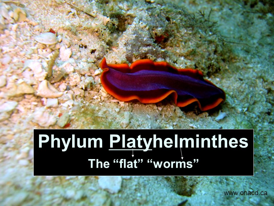 platyhelminth ppt