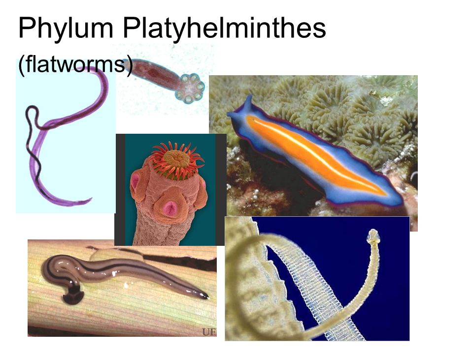 Platyhelminthes ppt bemutató Phylum Platyhelminthes : Animal classification (NEET) pinworm fejlődés