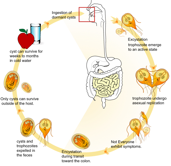 giardia causes in humans)