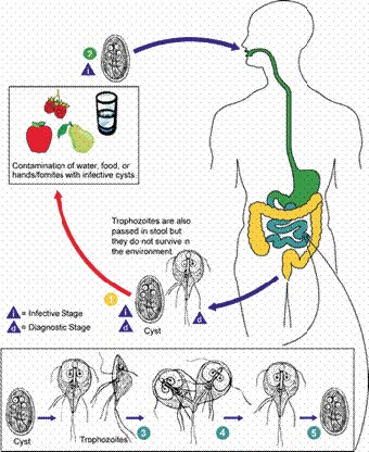 giardia life cycle diagram)